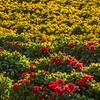 flower field-2868