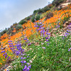 lopez poppies-