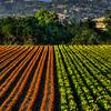 arroyo grande flower field 2927-