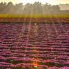flower field 2894-