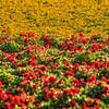 flower field 2862-