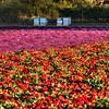 flower field 2860-