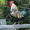 Village of AG Rooster