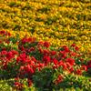 flower field-2870
