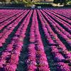 ag flower field 2846