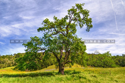Oak Tree 2126