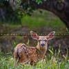 baby deer-6116