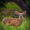baby deer-6096