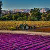 arroyo grande flower field tractor 2924-