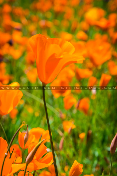 lopez poppies 7580-7580