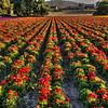 flower field 2857-