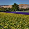 arroyo grande flower field 2877-