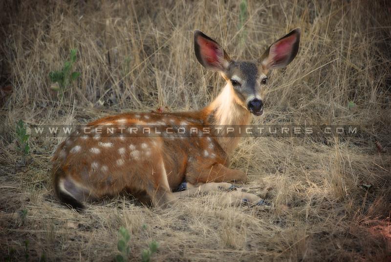 deer-lopez-lake_4117
