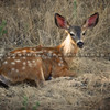 deer-lopez-lake_4117