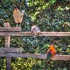 village of arroyo grande roosters 3838-3