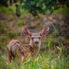 baby deer-6103