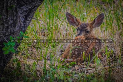 baby deer-6112