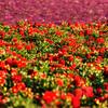 flower field 2865-