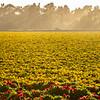 flower field-2866