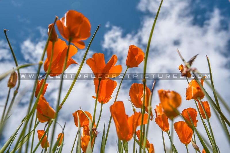 lopez poppies-7522