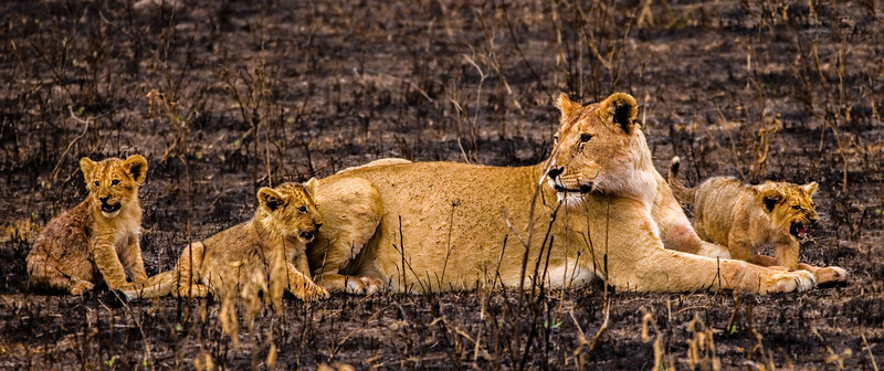 Lioness and Cubs, Ngorongoro Crater, Tanzania
