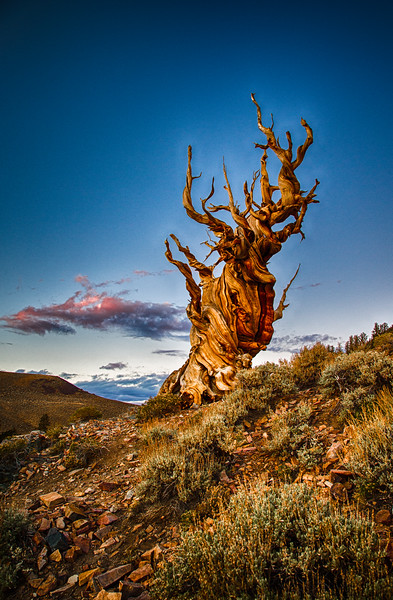 Ancient Bristlecone Pine at Sundown, Bristlecone Pine Forest