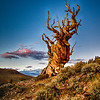 Ancient Bristlecone Pine at Sundown, Bristlecone Pine Forest