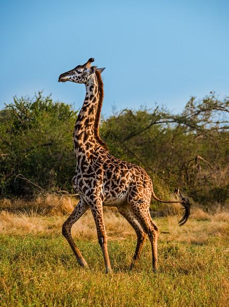 African Girafe, Serengeti, Tanzania