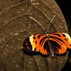 Numata Butterfly