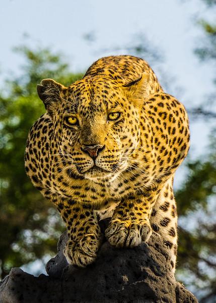 Crouching Leopard, Botswana