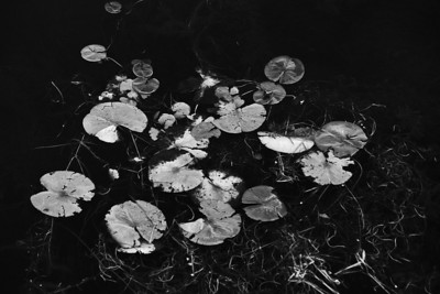 Lily Pads (4)
