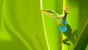 060507 green anole w uke