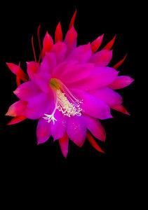 FuchsiaCereus_99_071706b