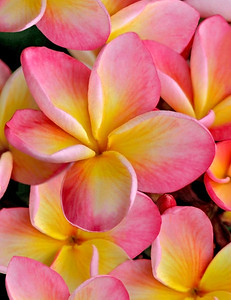 Pink and orange plumeria