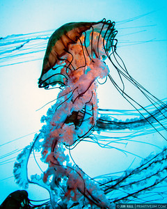 """Electric Jellyfish #1"" 16""x20"" Pacific Sea Nettle Jellyfish"