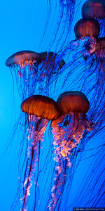 """Rubber Tide"" 10""x20"" Pacific Sea Nettle Jellyfish"