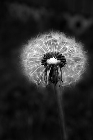 20100104 Dandelion (b&w)