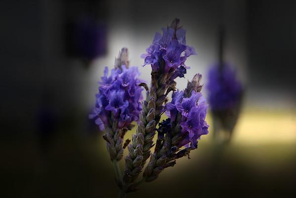 Pinata Lavender