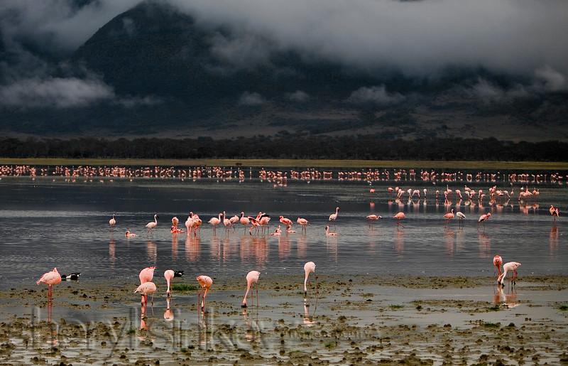 flamingos0244