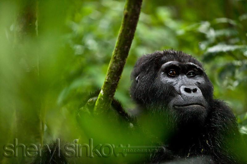 gorilla_0075