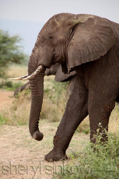 elephant_8898