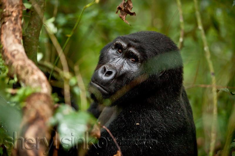 gorilla_0025