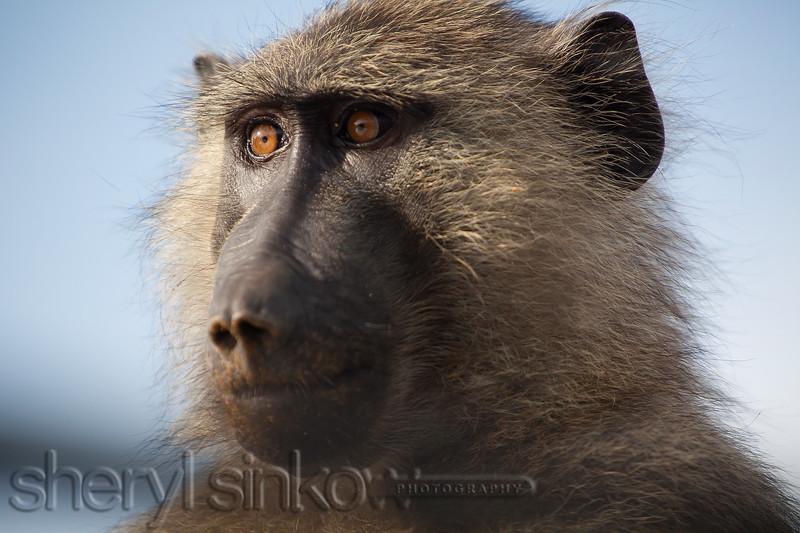 baboon_9090