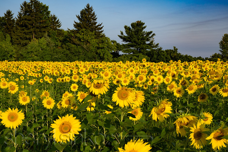 sunflowerfield_0435