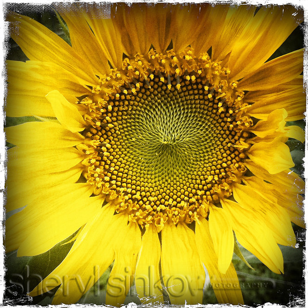sunflower_0517