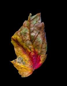 Sidewalk Leaf