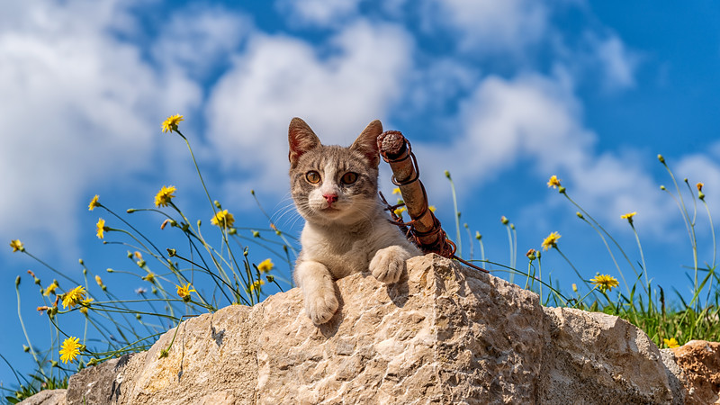 Montenegrin Cat w/ Mini-Cannon