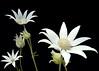 Flannel bush flower
