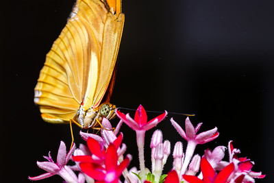 Lasso Butterfly