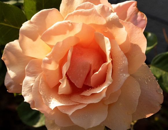 Rose in Peach with Dew Drops